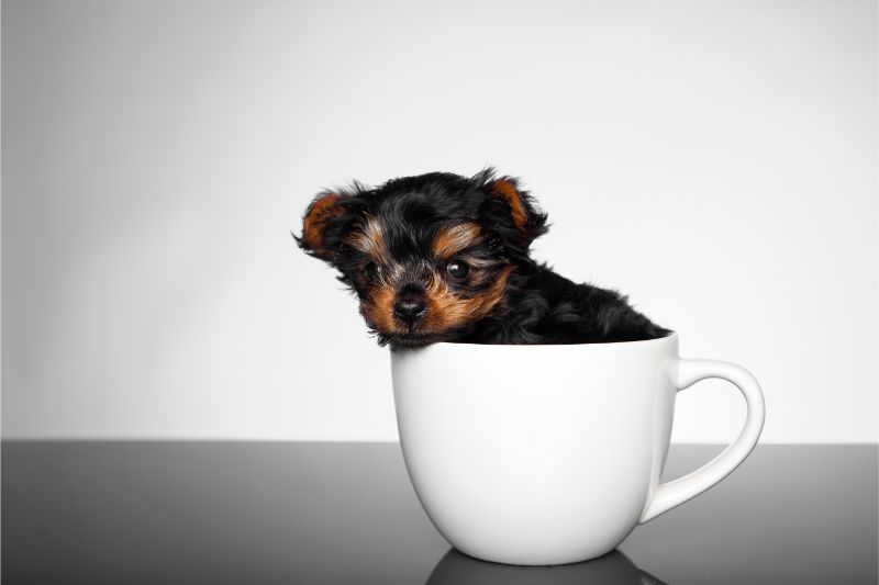 A toy dog breed is sitting in a white teacup against a white and gray background