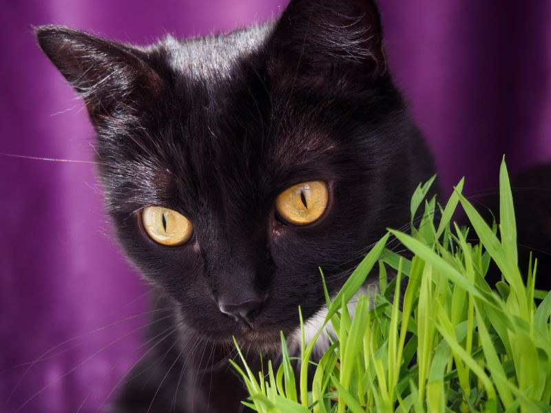 A black cat with golden eyes nibbles cat grass against a royal purple ackground