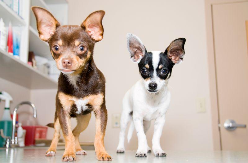 2 chihuahuas dogs needing pet emergency care.