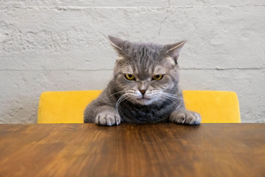 An angry cat sits at a table.