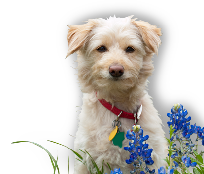 Dog and Blue Bonnets